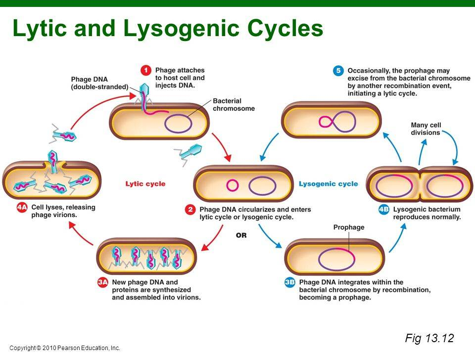 lysogenic lytic cycle compare contrast essay
